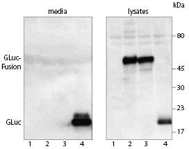 Western blot with anti-GLuc Antibody of proteins expressed in HEK-293 cells.