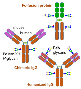 Figure 1: Possible structures of lgG and lgG-fusion proteins