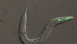 Learn about the latest research on the biology of filarial nematodes and their Wolbachia endosymbionts.